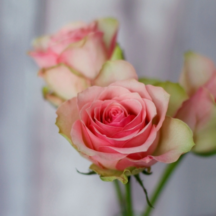 Pink-Rose-Soft-Background