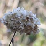 Hydrangea-1st-March