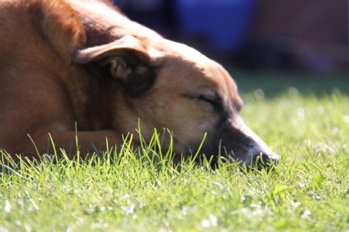 Snoozing-Dog