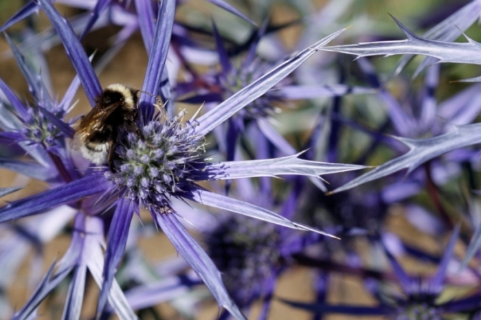 Bee-with-Eryngium
