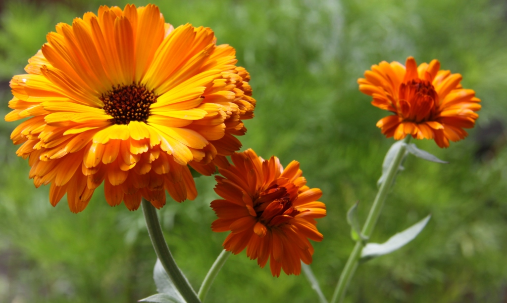 Calendula extract: effects on mechanical parameters of human skin.