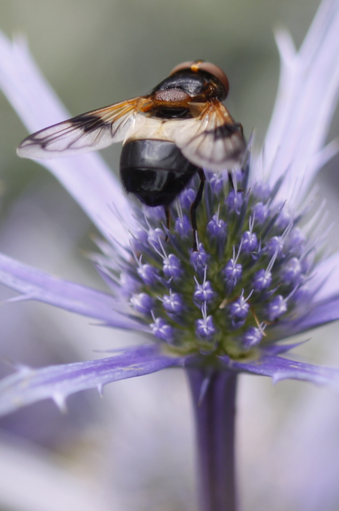 Eryngium-and-Bee