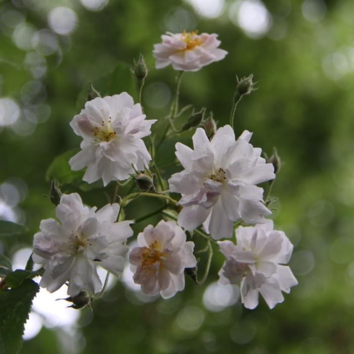 Rosa-Pauls-Himalayan-Musk