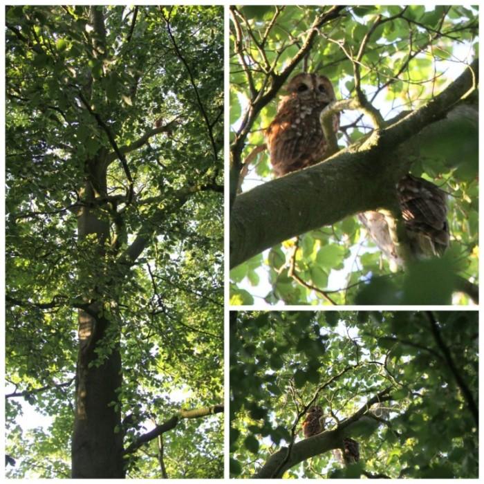 Tawny-Owls - Copy