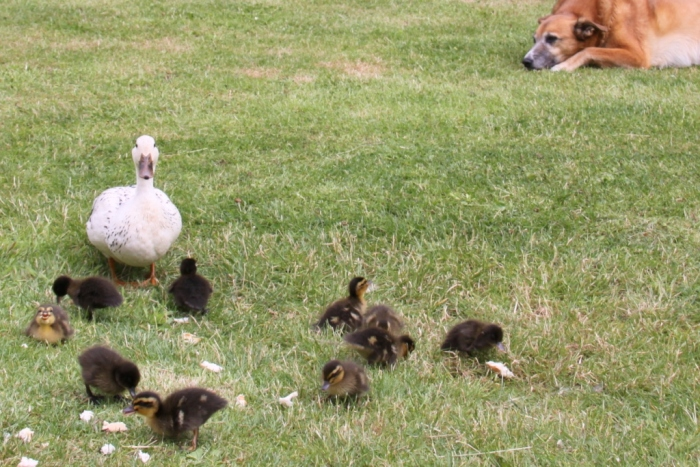 The-dog-and-ducks