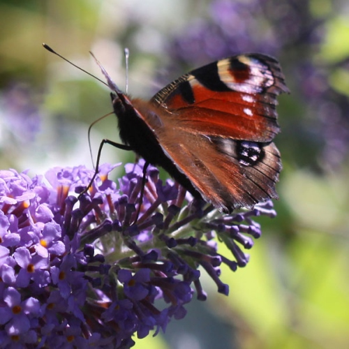 Peacock-Butterfly-Buddleja