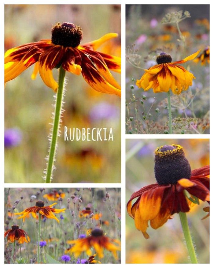 Rudbeckia-Collage-Opt