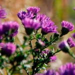 asters-thumbnail