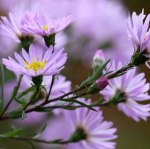asters-widget