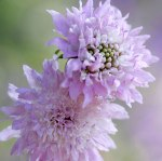 pink-scabious-300