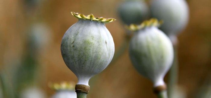 Poppy-Seed-Heads