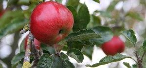 Apple-Tree-Header