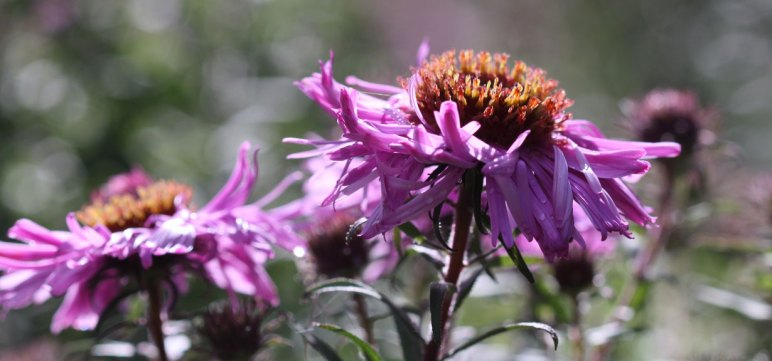 Late flowering perennials country garden uk its a new england aster and they are well known for producing large colourful flowers on sturdy woody stems mightylinksfo