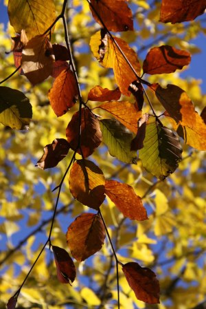 Beech-leaves