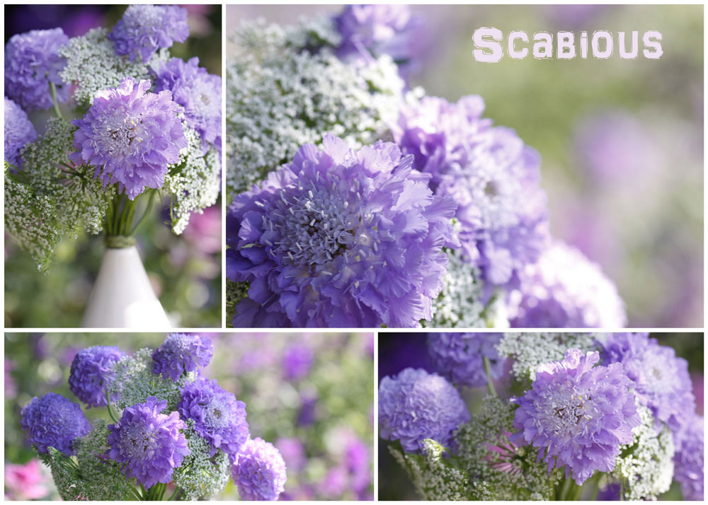 Blue-Scabious-Collage