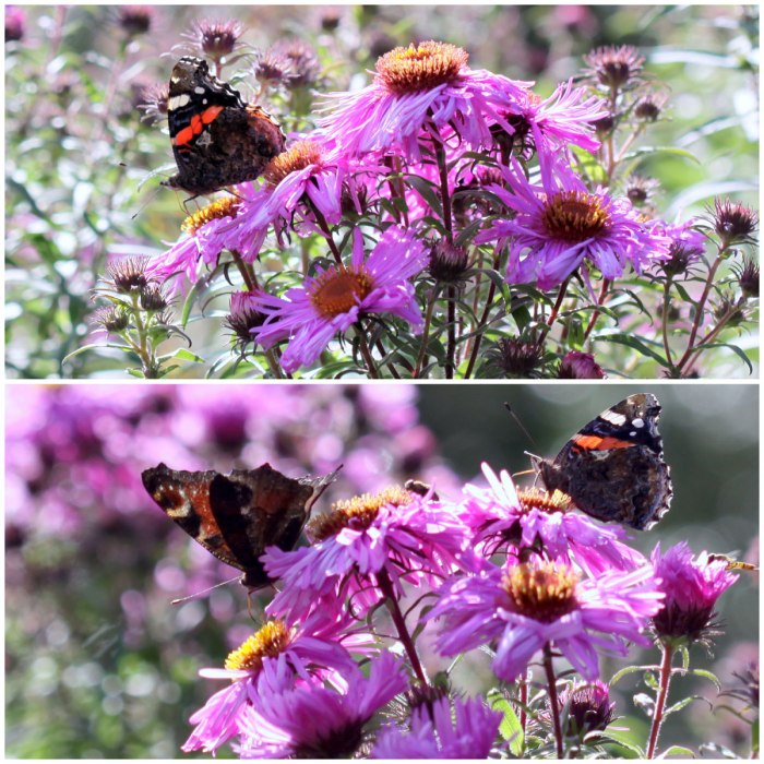 Butterfly-Aster