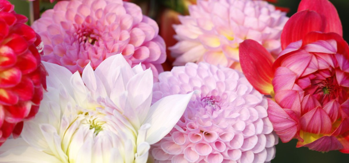 Dahlias Top Flowers for Autumn