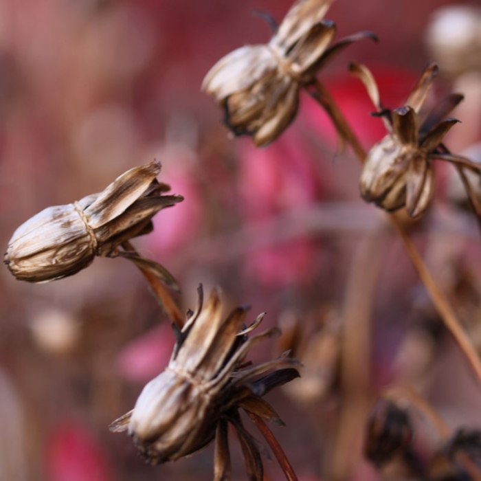 Dahlia-Seedheads