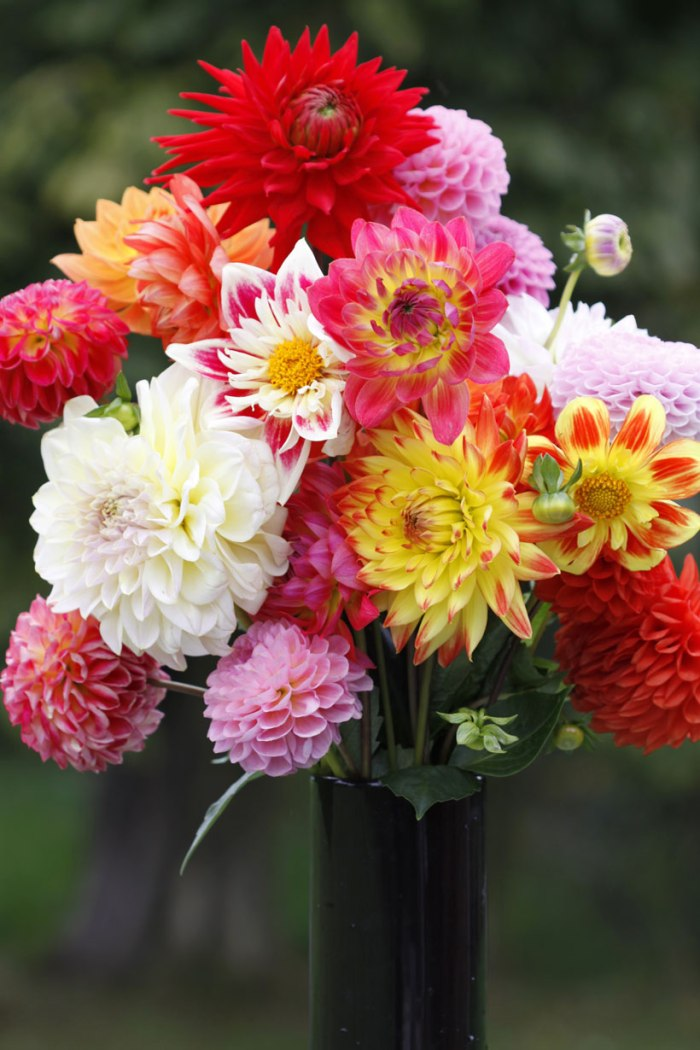 dahlias top flowers for autumn country garden uk