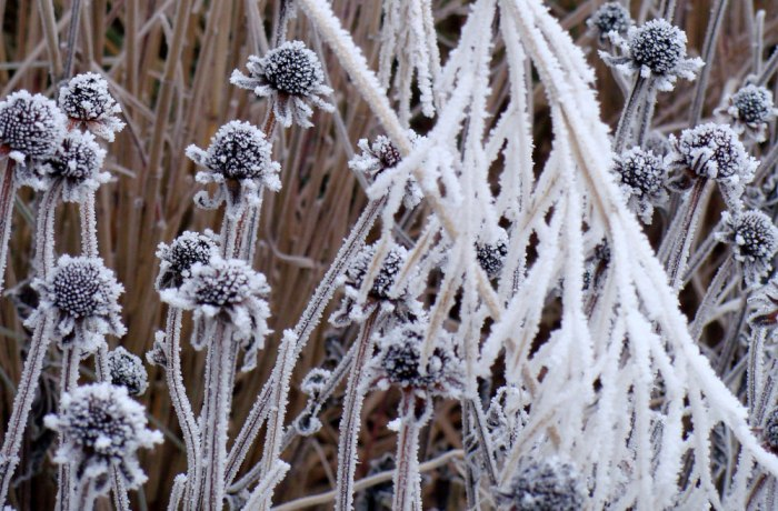 Frozen-Seed-Heads