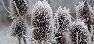 Teasels-Header