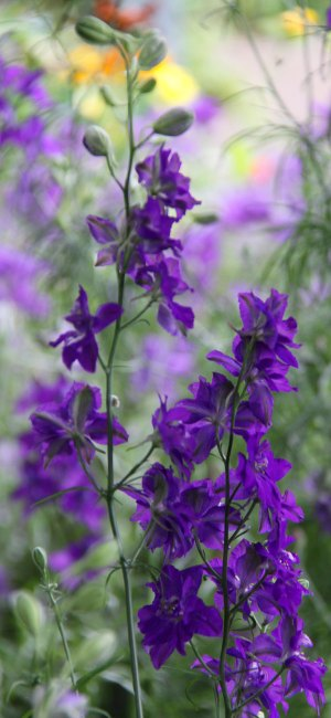 Larkspur-Dark-Blue