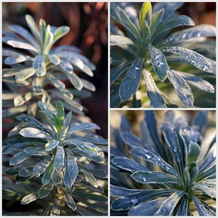 Euphorbia-Collage