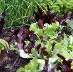 lettuce-thumbnail