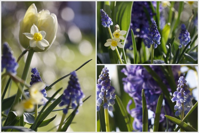 Muscari&Spring-Bulbs-Collag
