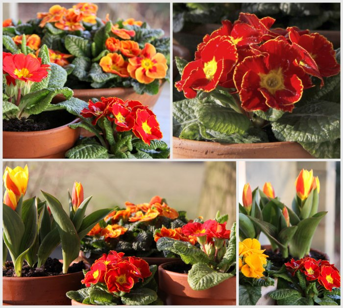 Orange-Primrose-Collage