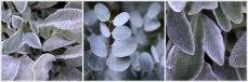 Stachys-&-Eucalyptus