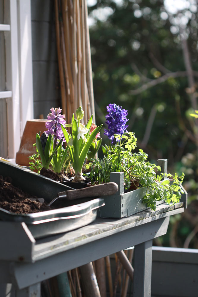 Potting-up-Spring-Bulbs
