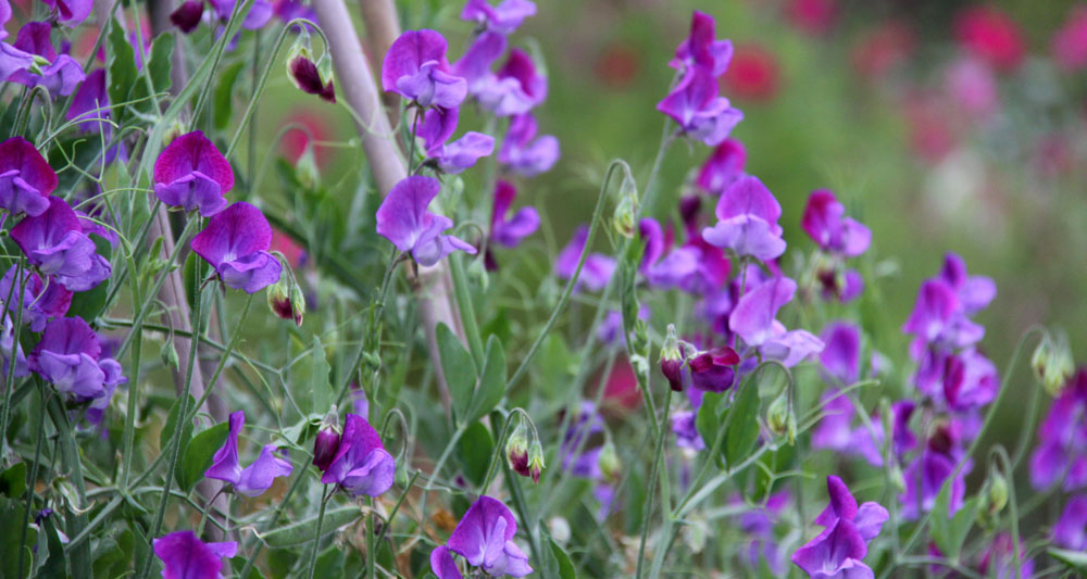 Sweet-Peas-One-Colour