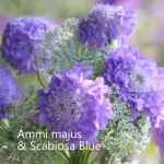 ammi-blue-scabious-500