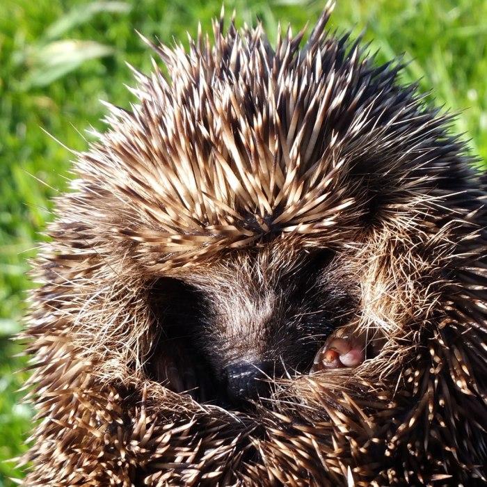 Hedgehog-ball