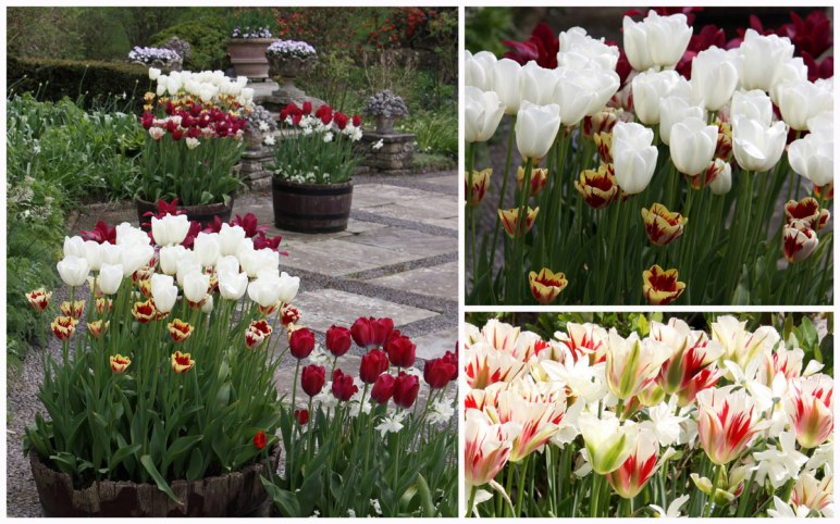 Red&White-Tulips