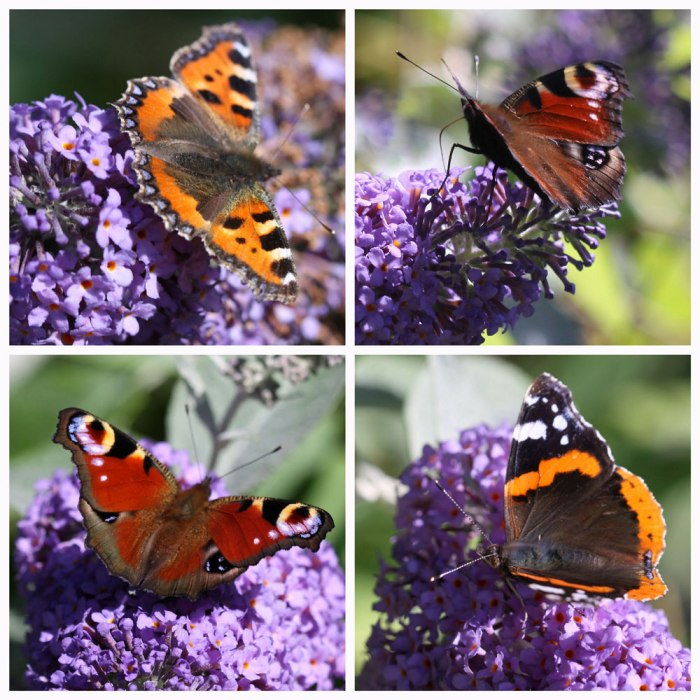Butterflies-and-Buddleja-Co
