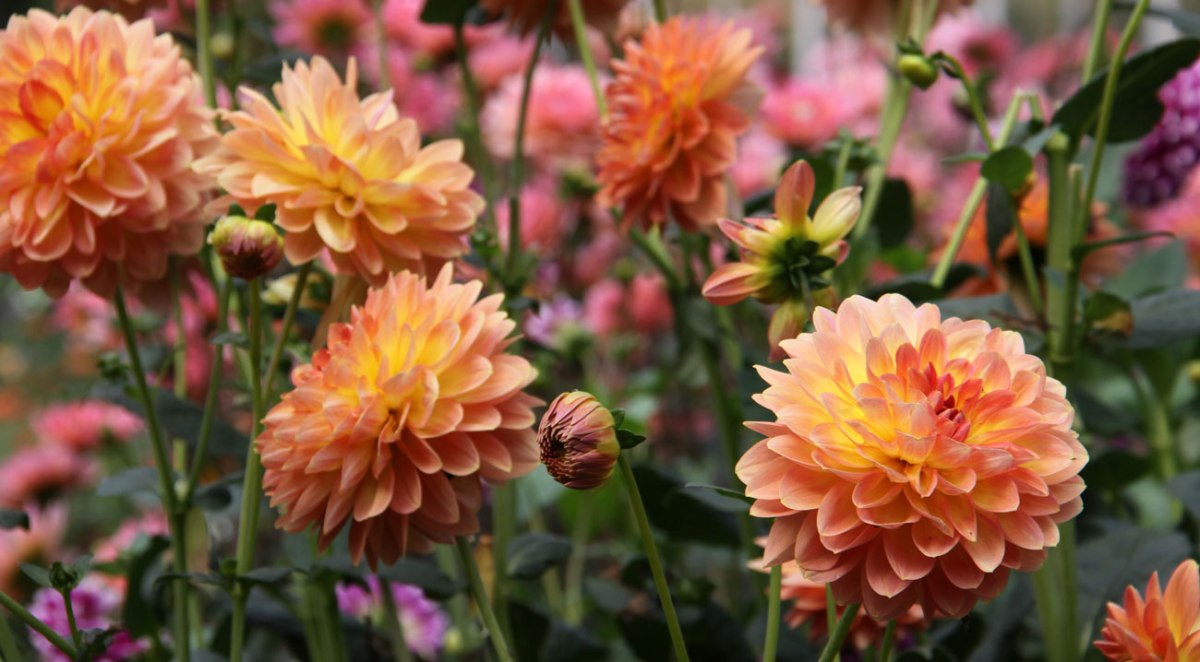 Dahlias are Looking Good