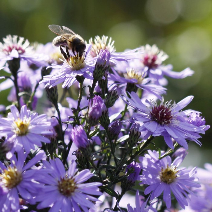 aster-with-bee