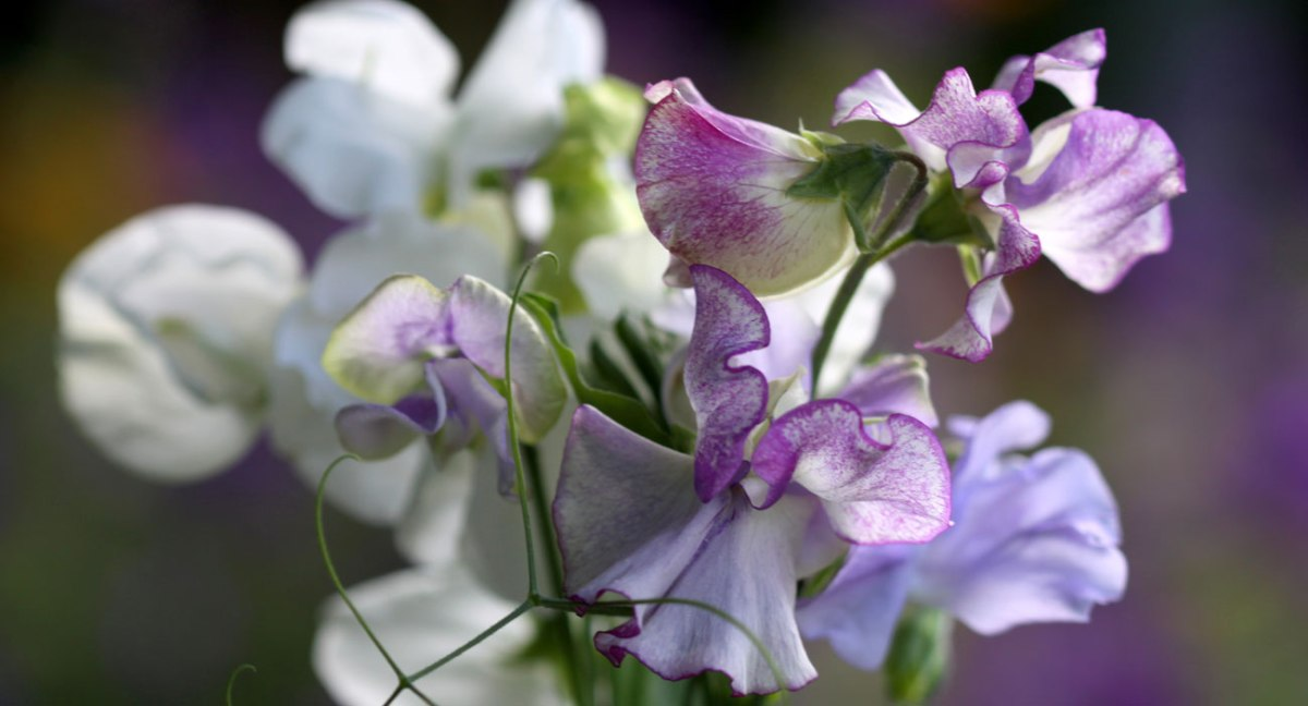 Sowing Sweet Peas in Autumn