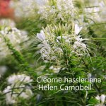 cleome-helen-campbell-500