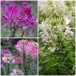 cleome-mixed-500