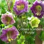 cobaea-purple-500