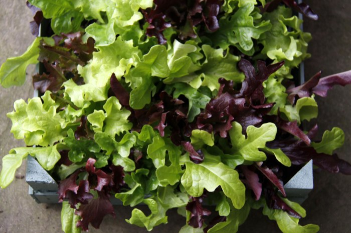oak-leaf-lettuce-ready-to-p