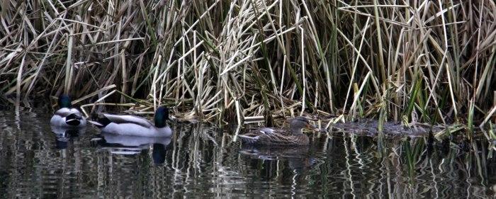 three-ducks